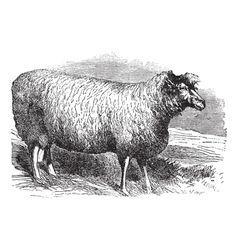 Leicester sheep vintage engraving vector