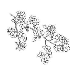 twig apple-tree blossoms vector image
