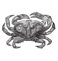 Rock crab vintage vector