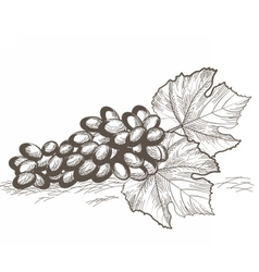 Vintage grapes cluster isolated vector