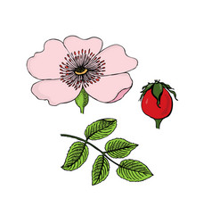 rosa canina dog-rose flowers berries leaves vector image vector image