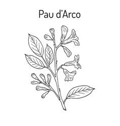 Pau d arco tabebuia impetiginosa  or trumpet tree vector