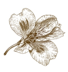 Engraving tiger lily vector