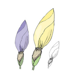 hand drawn iris buds sketch vector image