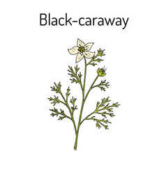Black caraway nigella sativa medicinal plant vector