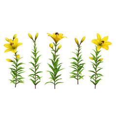 Yellow lilies with leaves realistic flowers vector