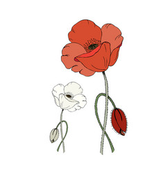 red and white poppy flower and poppy bud isolated vector image vector image