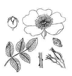 Rosa canina dog-rose flowers berries leaves vector