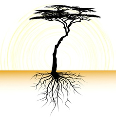 Acacia tree with a root vector