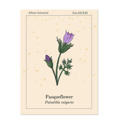 Pasqueflower pulsatilla vulgaris medicinal plant vector