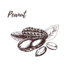 Peanut hand drawn sketch in vector