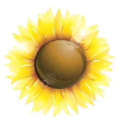 Beautiful sunflower isolated on white vector