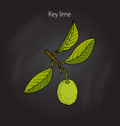 lime branch with leaves vector image