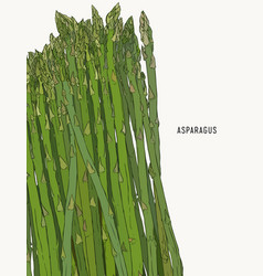 asparagus vegetable stem isolated sketch bunch of vector image