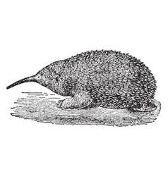 Brujin echidna porcupine anteater vintage vector