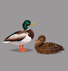 Realistic birds wild ducks isolated on a grey vector