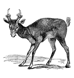 Barking deer vintage engraving vector image