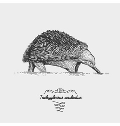 Echidna tachyglossus aculeatus engraved hand vector