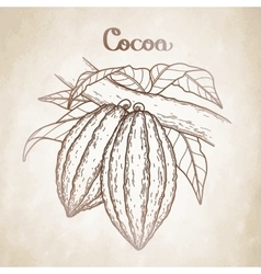 Graphic cocoa fruit vector