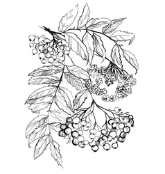 Rowan branch drawing vector