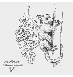 Brushtail possum trichosurus vulpecula engraved vector
