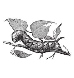 larva of privet hawk moth vintage vector image