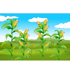 Farm scene with fresh corn vector