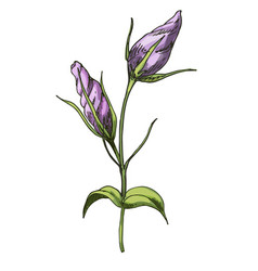 Hand drawn eustoma garden flower isolated vector