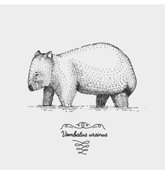 Wombat engraved hand drawn in vector
