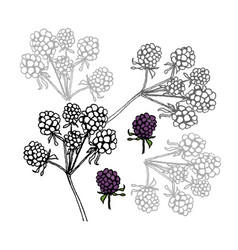 brambleberry liner on white vector image