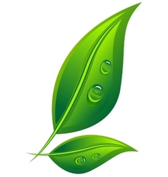 Two green leaf with dew drops vector