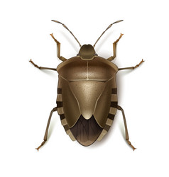 Brown shield bug vector