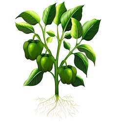 Green capsicum with roots vector