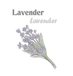 Lavender Color drawing lavender 10EPS Lavender vector image vector image