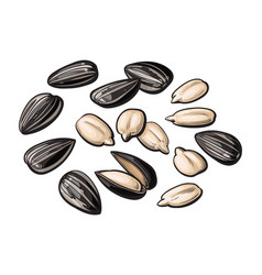 whole and peeled sunflower seeds isolated on white vector image vector image