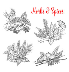 sketch spices and herbs for farm market vector image