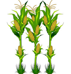 corn on the field vector image