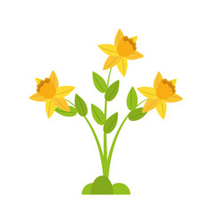 daffodil flower spring floral vector image