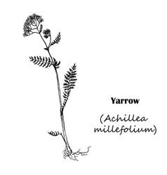 achillea millefolium yarrow vector image vector image