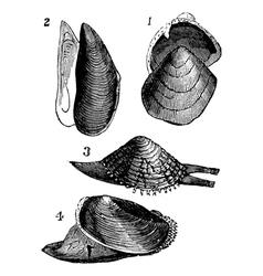 Mollusk vintage engraving vector image vector image