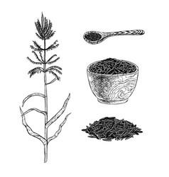 hand drawn set of wild rice sketch vector image