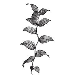 Asparagus fern vintage engraving vector