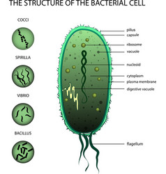 structure of the bacterial cell vector image vector image