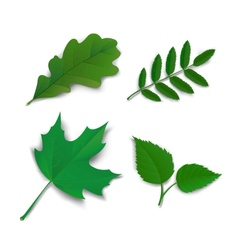 Summer oak maple ash birch leaves vector