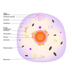 animal cell vector image
