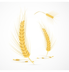 Ears of Wheat Isolated on White Background vector image vector image