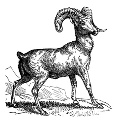 Mountain sheep vintage engraving vector