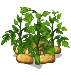 Planting and cultivation of potatoe vector