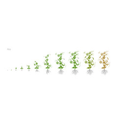 pea pisum sativum cultivation agriculture growth vector image