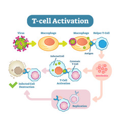 t-cell activation diagram vector image